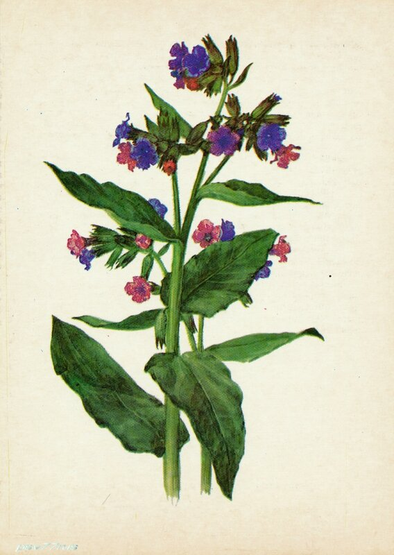 Медуница (Pulmonaria officinalis L.)