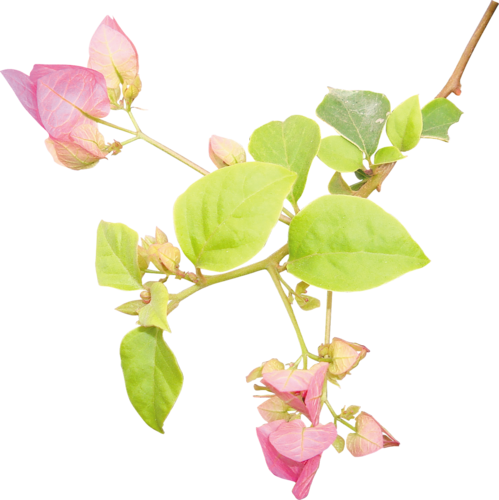 «Day Rose» 0_98226_6bb2c0f1_L