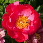 Календарь цветения пионов 2012г 0_6ffa2_13157750_S