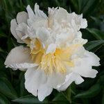 Календарь цветения пионов 2012г 0_6ffaf_4b12ab76_S