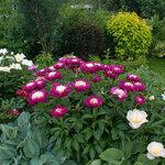 Календарь цветения пионов 2012г 0_6ffb9_701d32ed_S