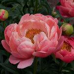 Календарь цветения пионов 2012г 0_6ffc4_641a5930_S