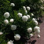 Календарь цветения пионов 2012г 0_6ffd3_e8a1e734_S