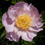 Календарь цветения пионов 2012г 0_6ffd8_eb35798b_S