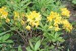 Рододендрон жёлтый (3).JPG