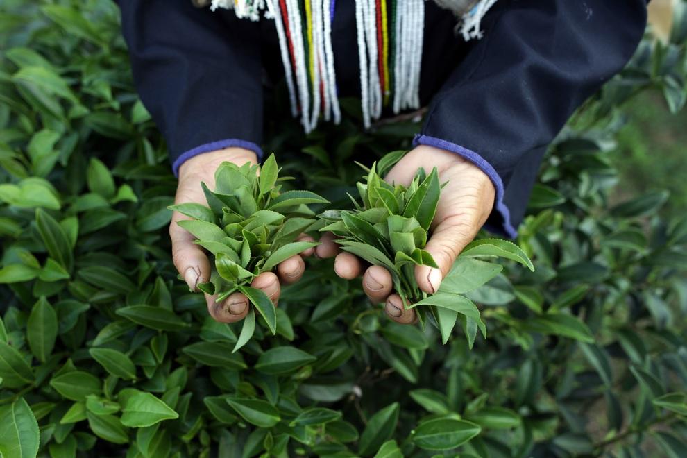 رحلة تصنيع الشاي خطوة بخطوة 0_96e4f_e97cc741_ori
