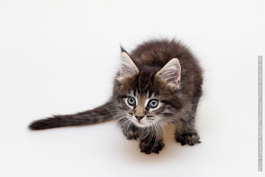 черный пятнистый котенок Мейн-кун
