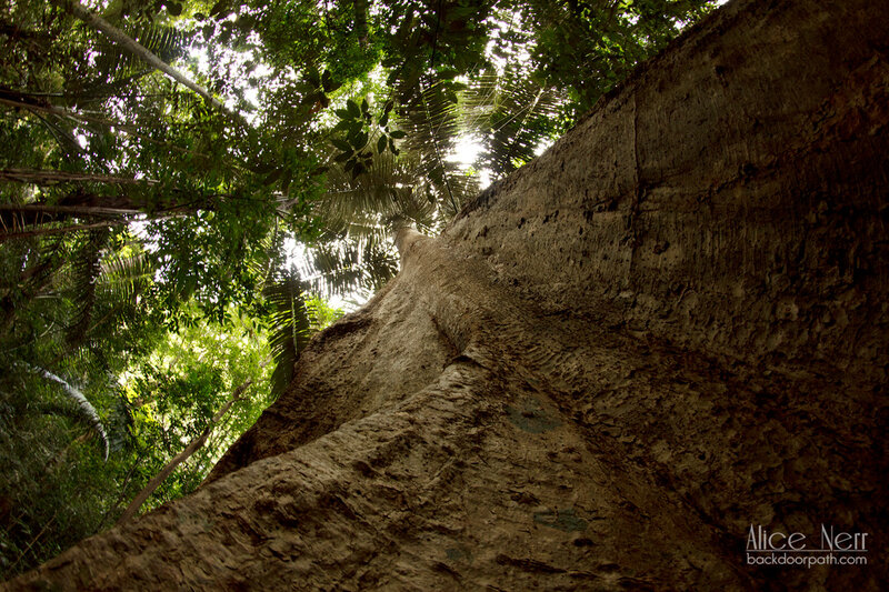 огромный баньян - вид снизу вверх