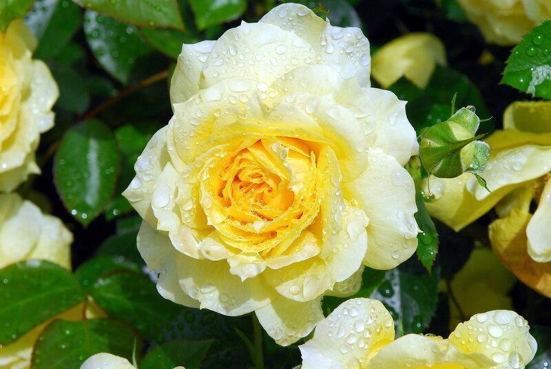 Солнечная роза в капельках дождя.