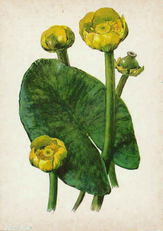 Кубышка (Nyphar luteum Sm.)