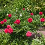 Календарь цветения пионов 2012г 0_6ff9f_569fc78a_S