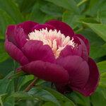 Календарь цветения пионов 2012г 0_6ffd0_370f6883_S