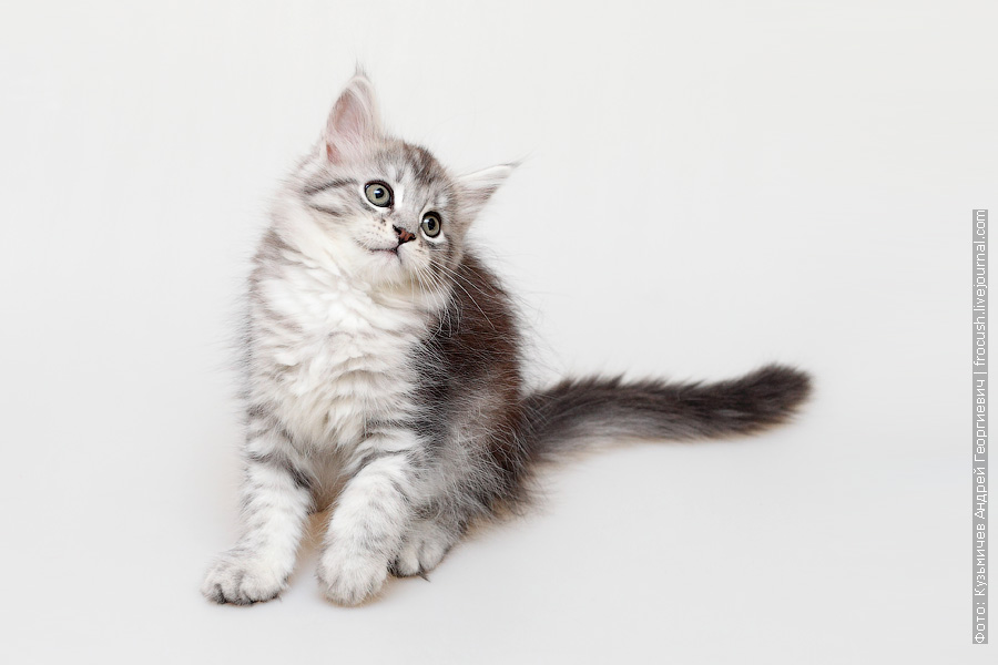 двухмесячный котенок Мейн-кун фото