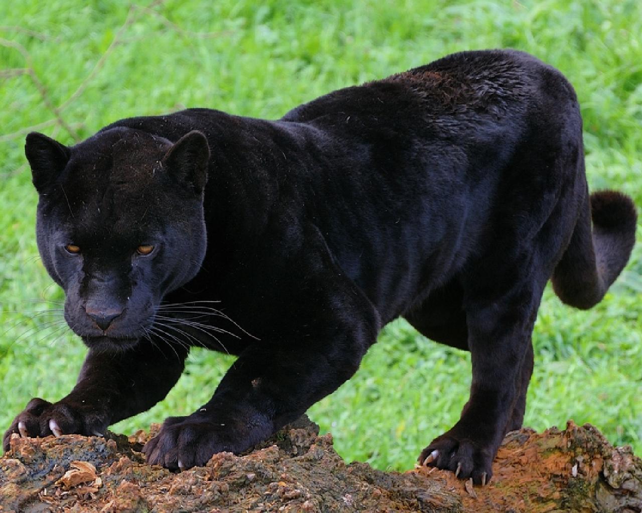 пантера графии