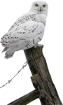Mtm_Birds 16-Ready for the hunt snowy-24 Sept 2005.png