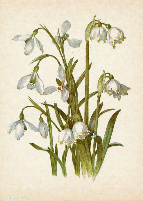 Подснежник белоснежный (Galanthus nivalis L.)