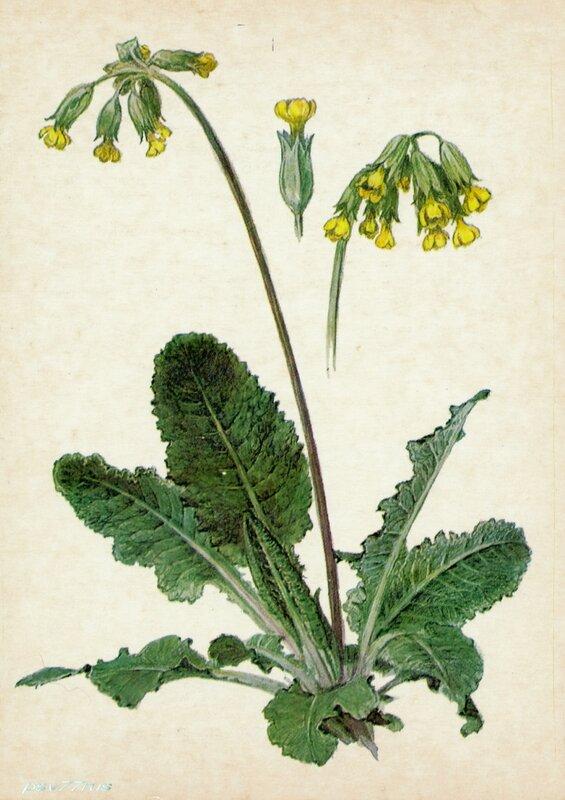 Первоцвет лекарственный (Primula officinalis Jaeg.)