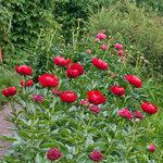 Календарь цветения пионов 2012г 0_6ff81_e710e326_S