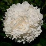 Календарь цветения пионов 2012г 0_6ffd5_605f2e95_S