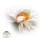 12930417506_fleurs_nikita.png