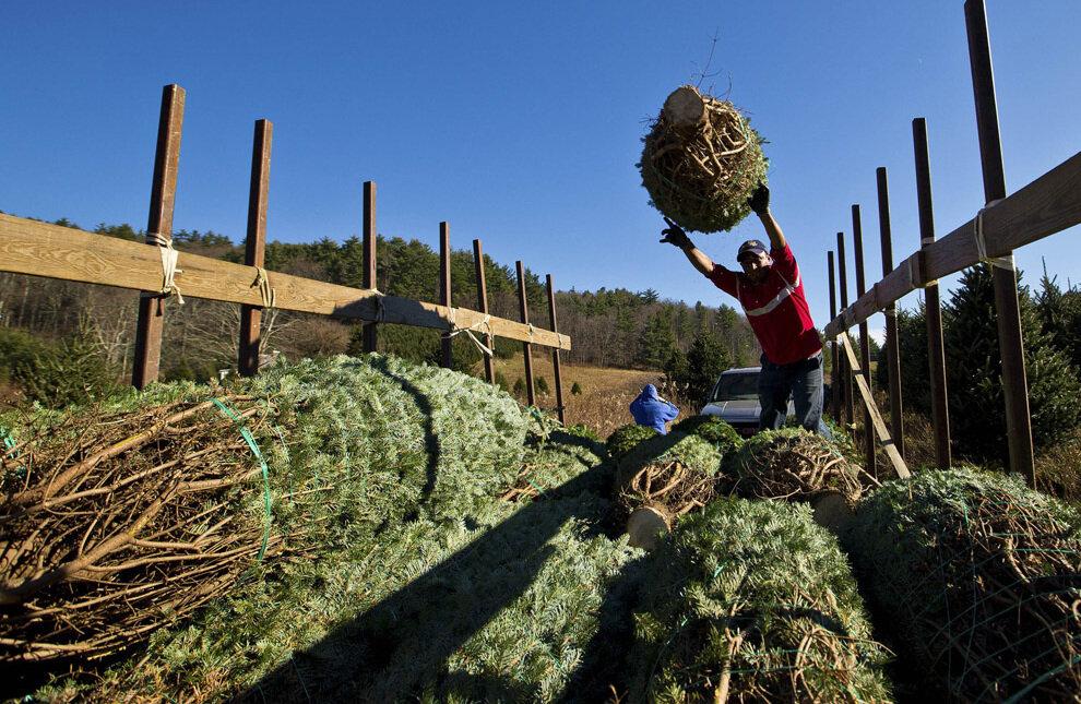 Педро Карденас (Pedro Cardenas) бросает спиленную и связанную ель на кучу.