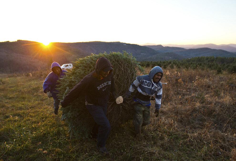 Рабочие тащат спиленное дерево к месту складирования.