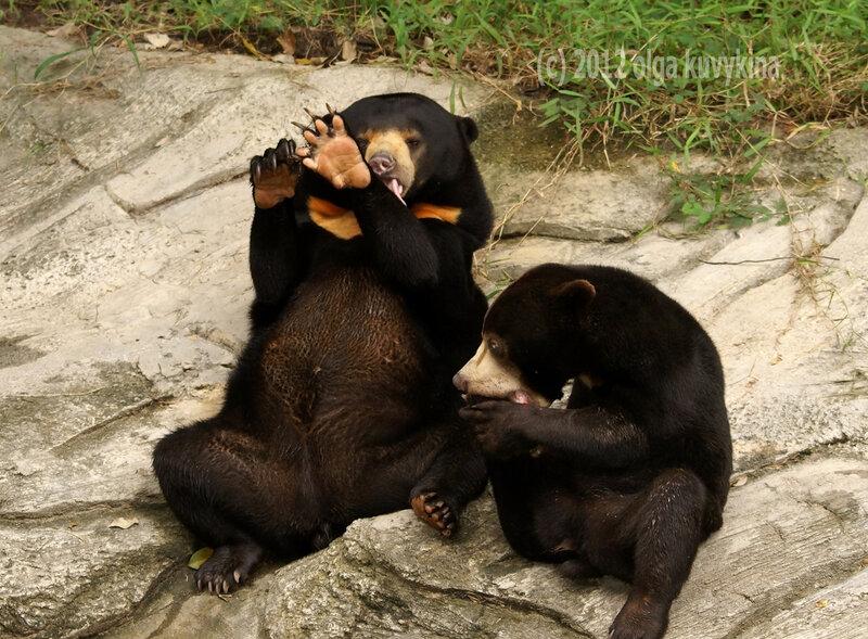 Солнечный медведь (Helarctos malayanus)