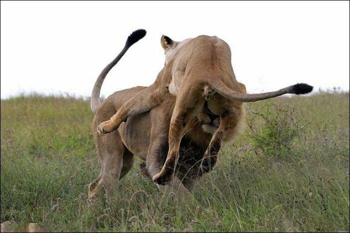 Сердитая львица