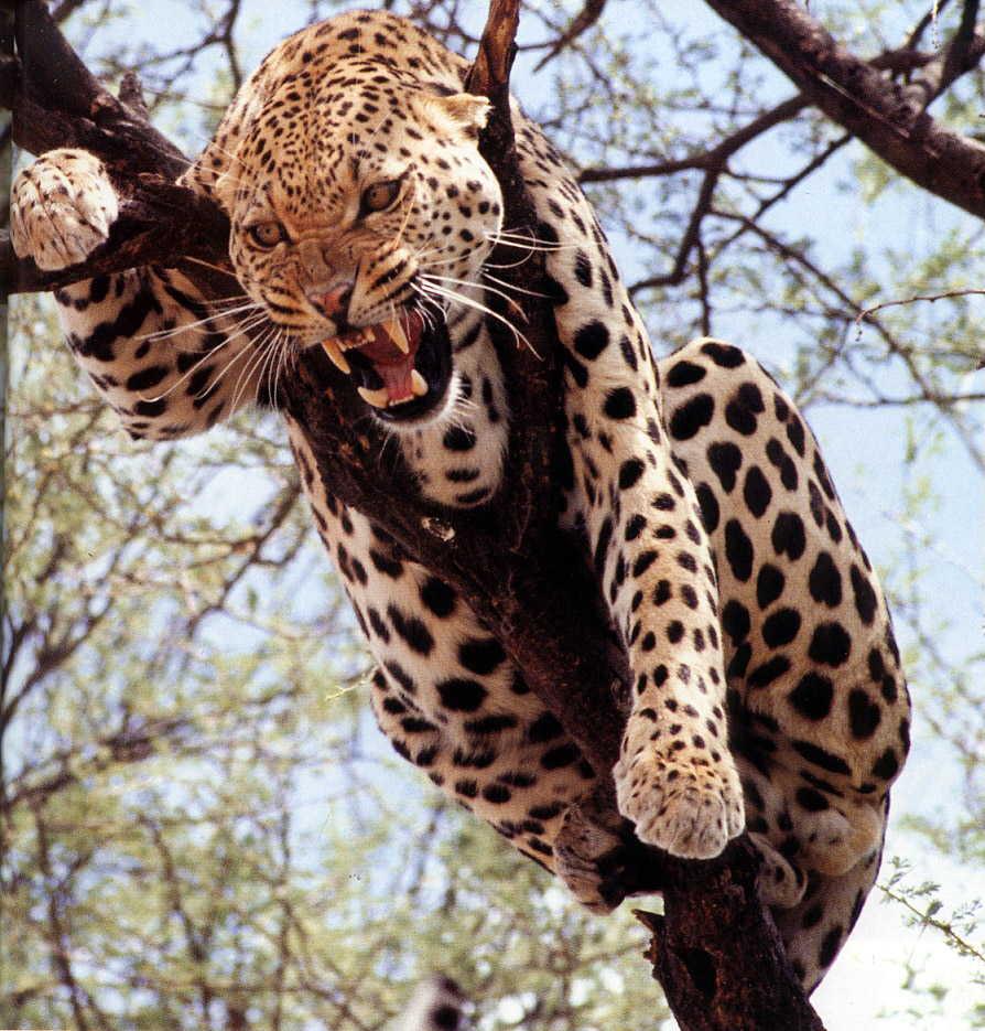 1dbbfeebb37d Леопард. Обсуждение на LiveInternet - Российский Сервис Онлайн-Дневников