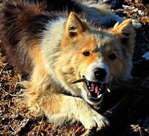 IMG_7432.JPG Лесной пёс по кличке Якут