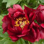 Календарь цветения пионов 2012г 0_6ff5d_266d09f7_S