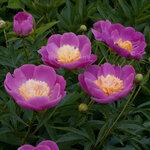 Календарь цветения пионов 2012г 0_6ffb1_d8f74fd9_S