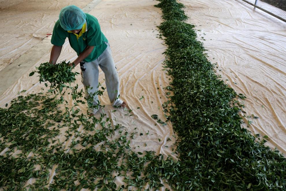رحلة تصنيع الشاي خطوة بخطوة 0_96e52_a58d457a_ori
