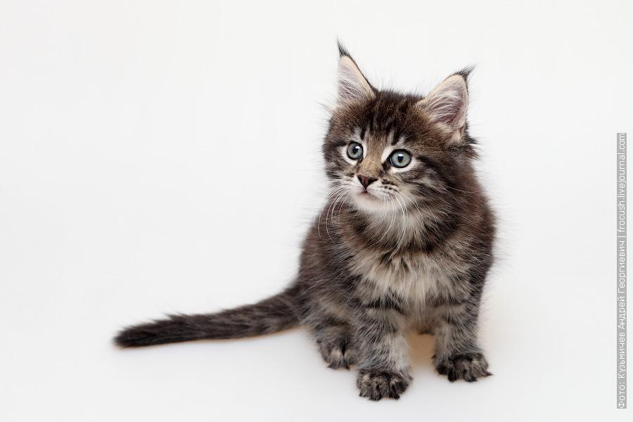 Мейн-кун котенок фотография