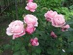Розы Delbard 2012