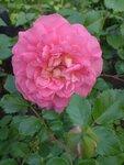 Розы David Austin 2012