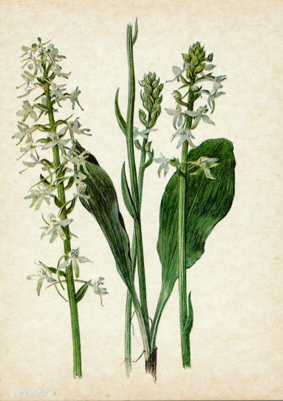 Любка двулистная (Platanthera bifolia Rchb.)