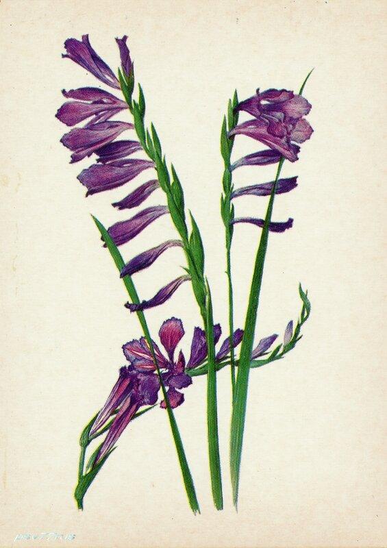 Шпажник (Gladiolus imbricatus L.)