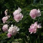 Календарь цветения пионов 2012г 0_6ff71_b2d58e08_S