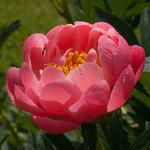 Календарь цветения пионов 2012г 0_6ff79_31183fcc_S