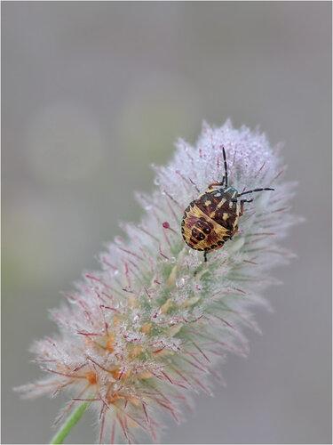 Клевер пашенный (Trifolium arvense) Автор фото: Владимир Брюхов
