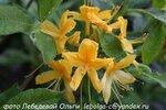Рододендрон жёлтый (4).JPG
