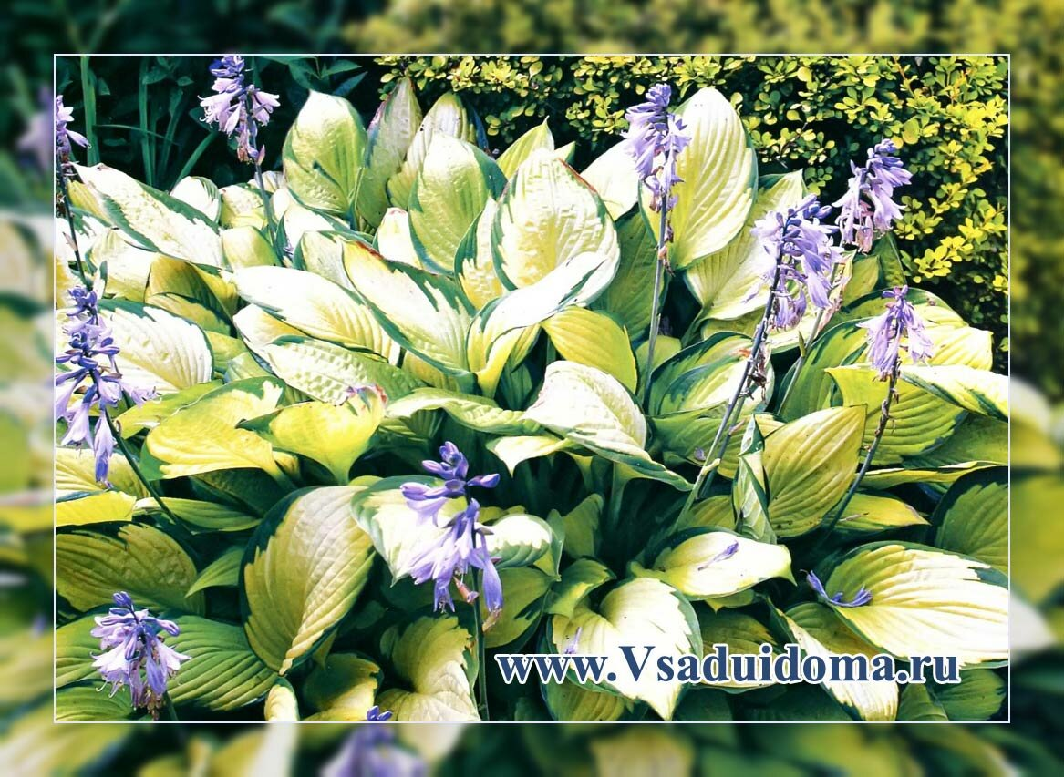 Хосты солнце-выносливых сортов – выращивание, сорта и уход