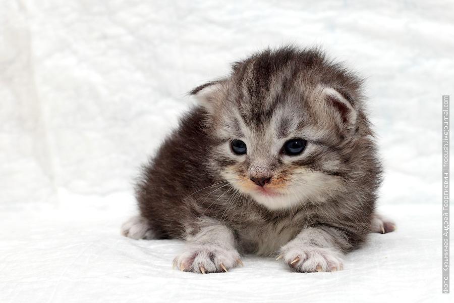 маленький котенок мейн кун