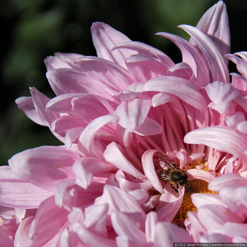 Пчела внутри цветка