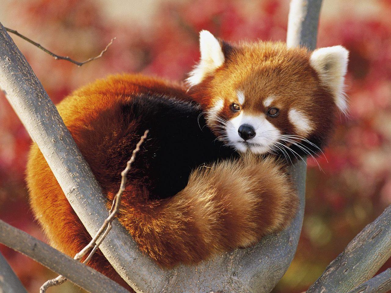 Растение панда фото - 8