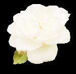 «victorian rose» 0_94aa7_3c1fee66_S