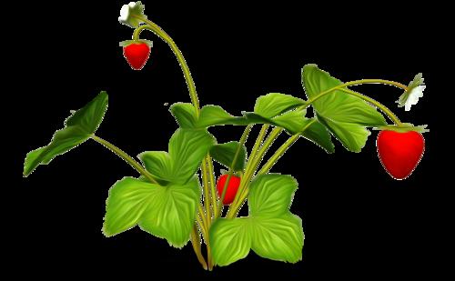 «Strawberry Dreams»  0_952cd_bc7e5e2b_L