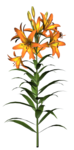 Flowers2-GI_SummerBreeze.png