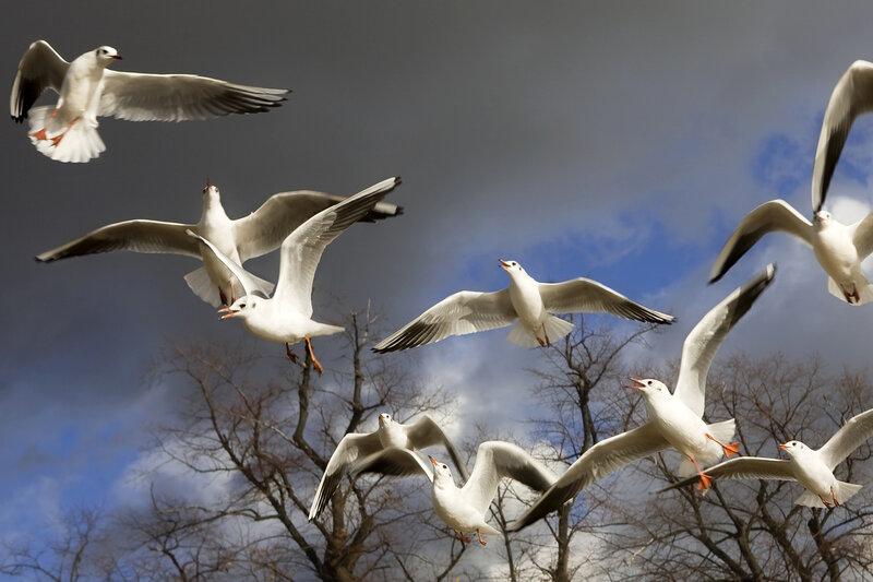 sea-gull in Hyde Park